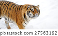 Beautiful wild siberian tiger on snow 27563192