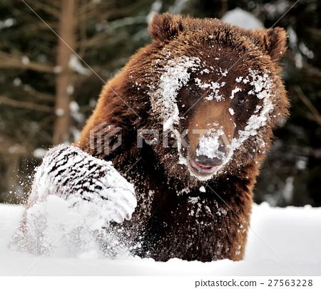 Bear 27563228