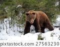 Bear in winter 27563230