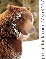 Wild brown bear 27563447