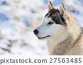 Siberian husky dog 27563485