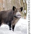 Wild boar 27563565