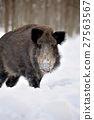 Wild boar 27563567