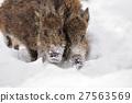 Wild boar 27563569