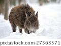 Wild boar 27563571