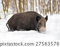 Wild boar 27563576