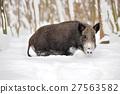 Wild boar 27563582