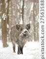 Wild boar 27563588