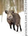 Wild boar 27563594