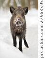 Wild boar 27563595