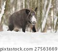 Wild boar 27563669