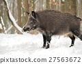 Wild boar 27563672