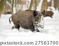 Wild boar 27563700