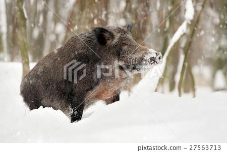 Wild boar 27563713