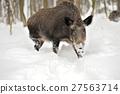 Wild boar 27563714