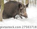 Wild boar 27563718