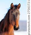 Horse 27563721