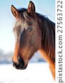 Horse 27563722