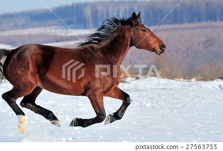 Horse 27563755