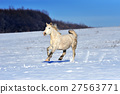 White horse running in winter in meadow 27563771