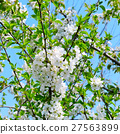 blossoming cherry orchard and blue sky 27563899