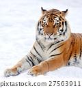 Tiger 27563911