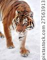 Tiger 27563913