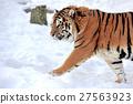 Tiger 27563923