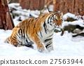 Tiger 27563944
