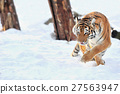 Tiger 27563947