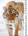 Tiger 27563954