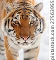 Tiger 27563955