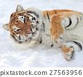 Tiger 27563956