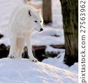 Wolf 27563962