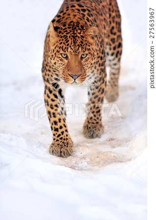Leopard 27563967