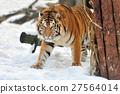 Tiger 27564014