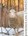 Sheep 27564025