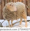 Sheep 27564027