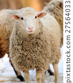 Sheep 27564033
