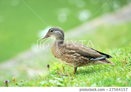 Wild duck 27564157