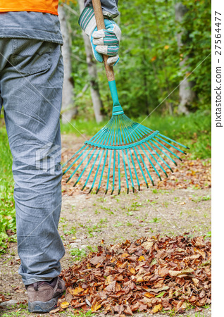 Man with rake near to the fall leaves in park  27564477