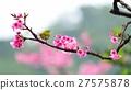樱花 樱桃树 花朵 27575878