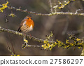 Cute Robin (Erithacus Rubecula) perched on Branch 27586297