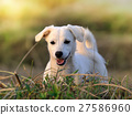 puppy dog in meadow 27586960