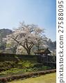ดอกซากุระบาน,ซากุระบาน,ฤดูใบไม้ผลิ 27588095