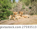 Lions laying on rocks. 27593513