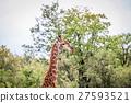 Giraffe starring at the camera. 27593521