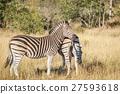 Zebra starring at the camera. 27593618