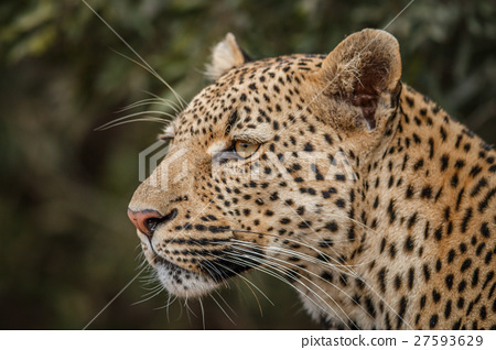 Side profile of a Leopard. 27593629