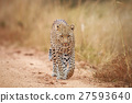 Leopard walking towards the camera. 27593640